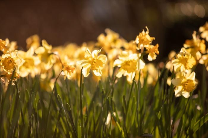 Daffodils on Campus143A0042_web
